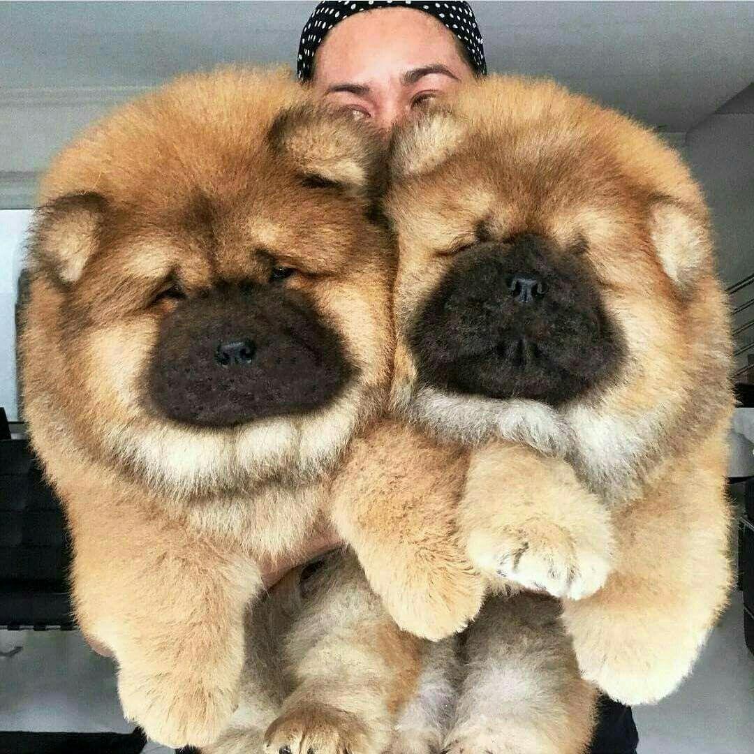 Hai em chó chow chow to lớn đáng yêu