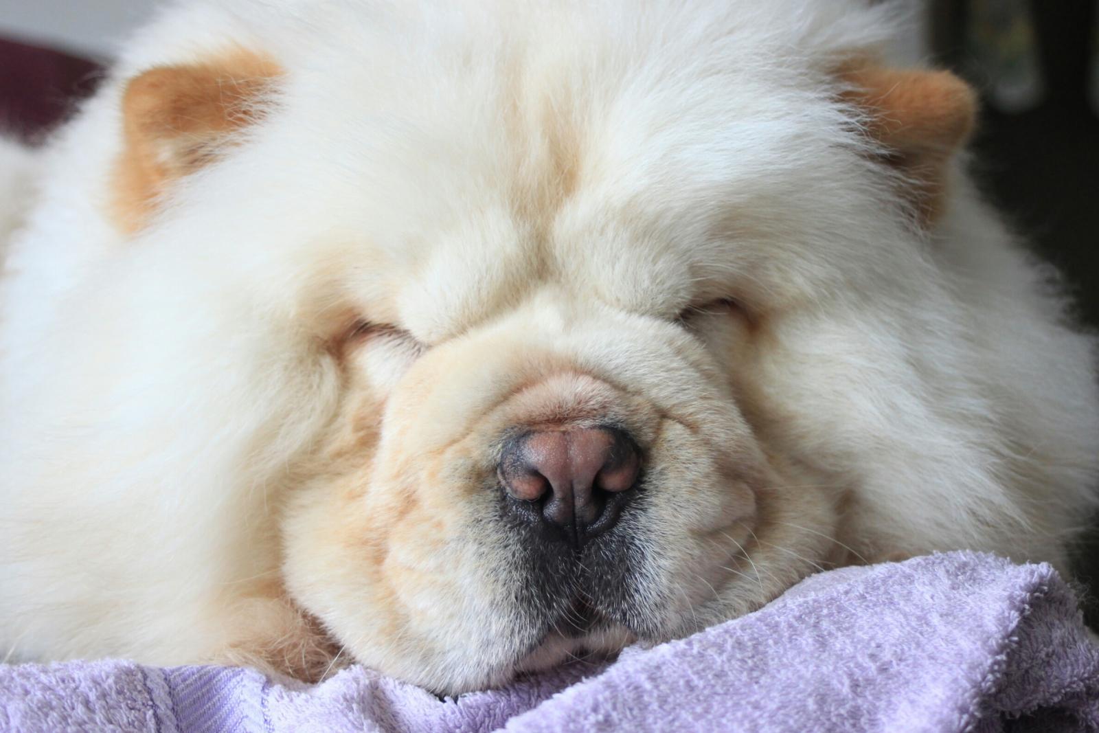 Hình ảnh chú chó chow chow đang ngủ trông rất cute