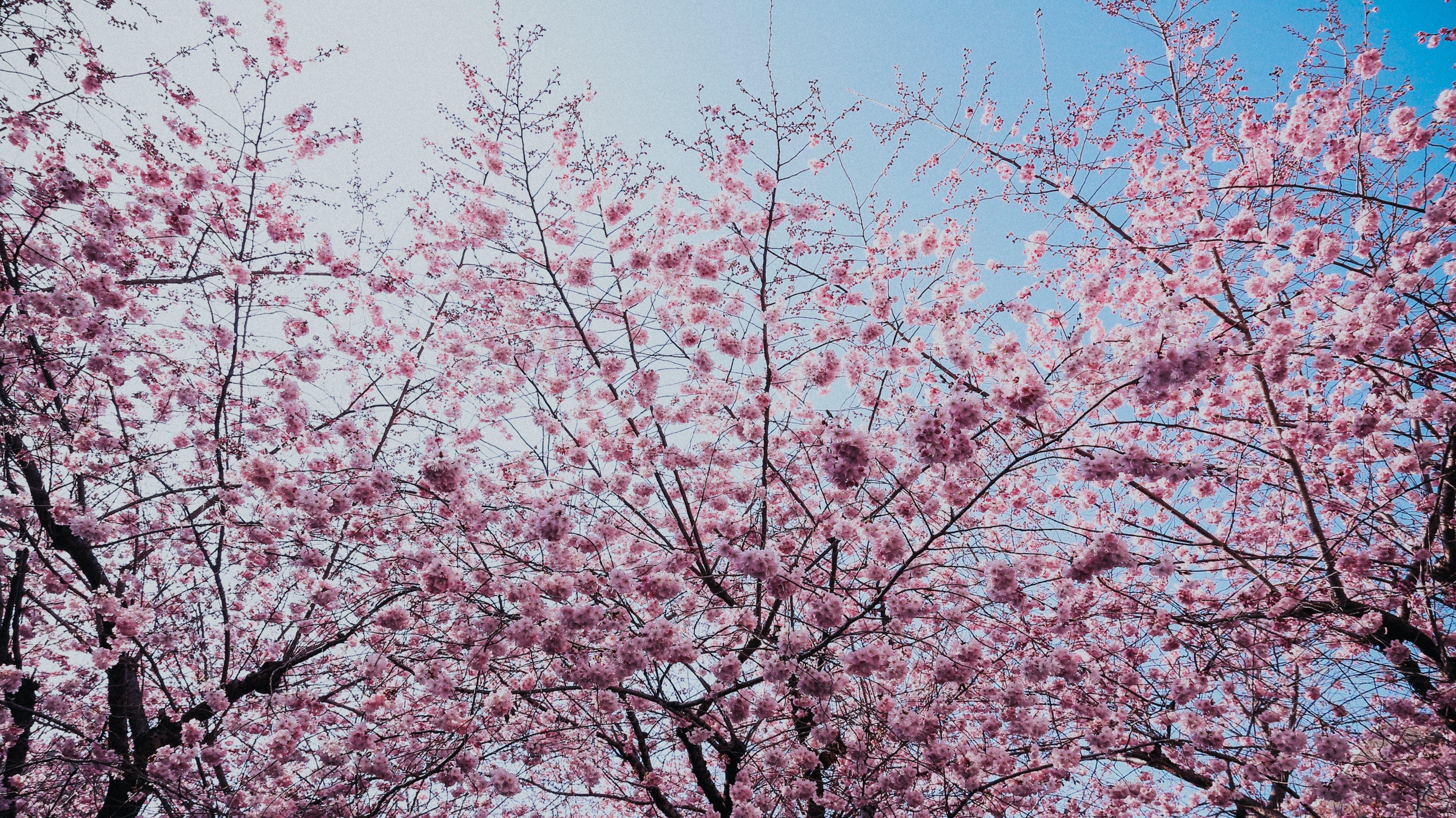 Hình nền hoa anh đào cực đẹp