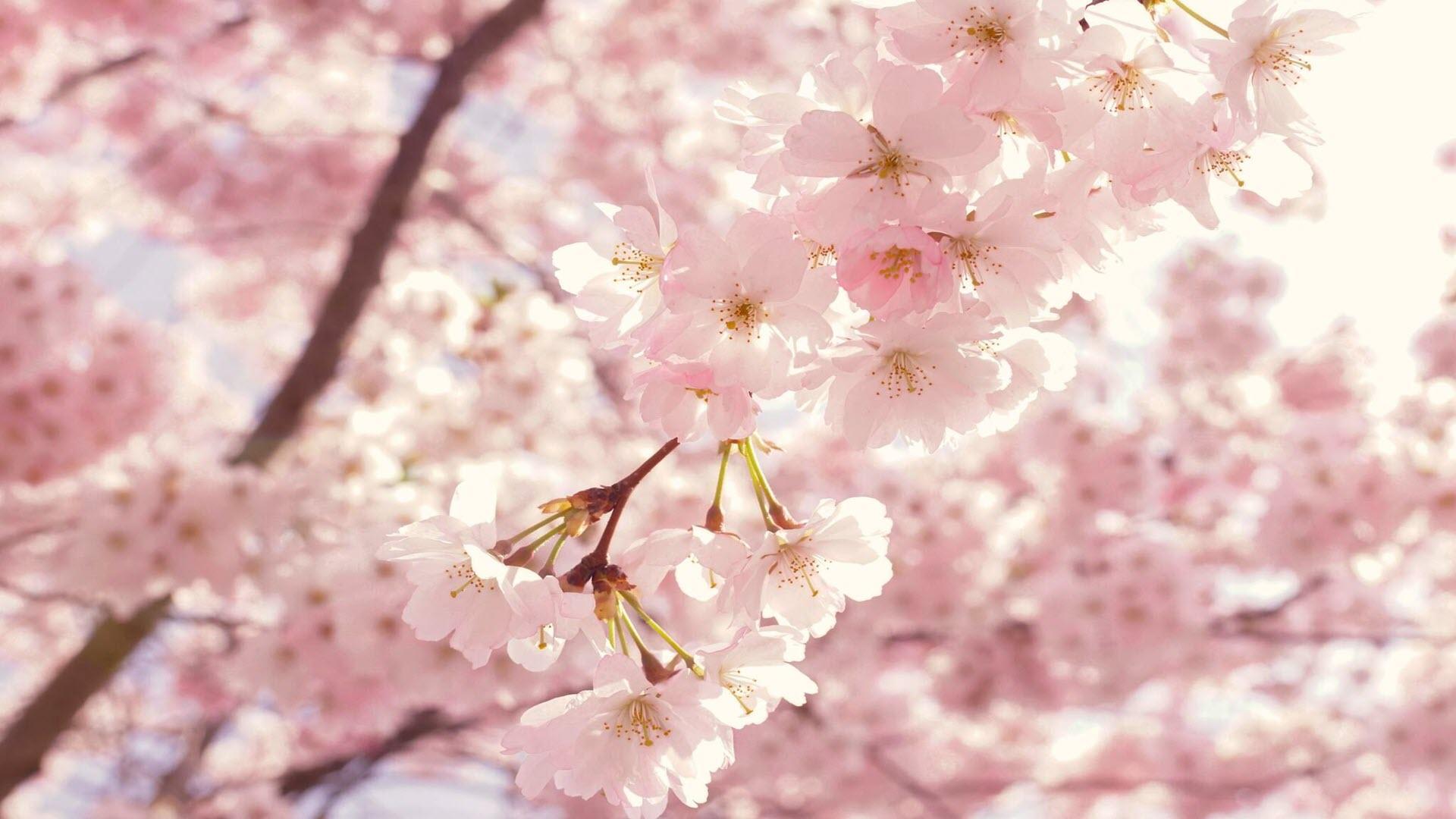 Hình nền hoa anh đào mùa xuân cực đẹp