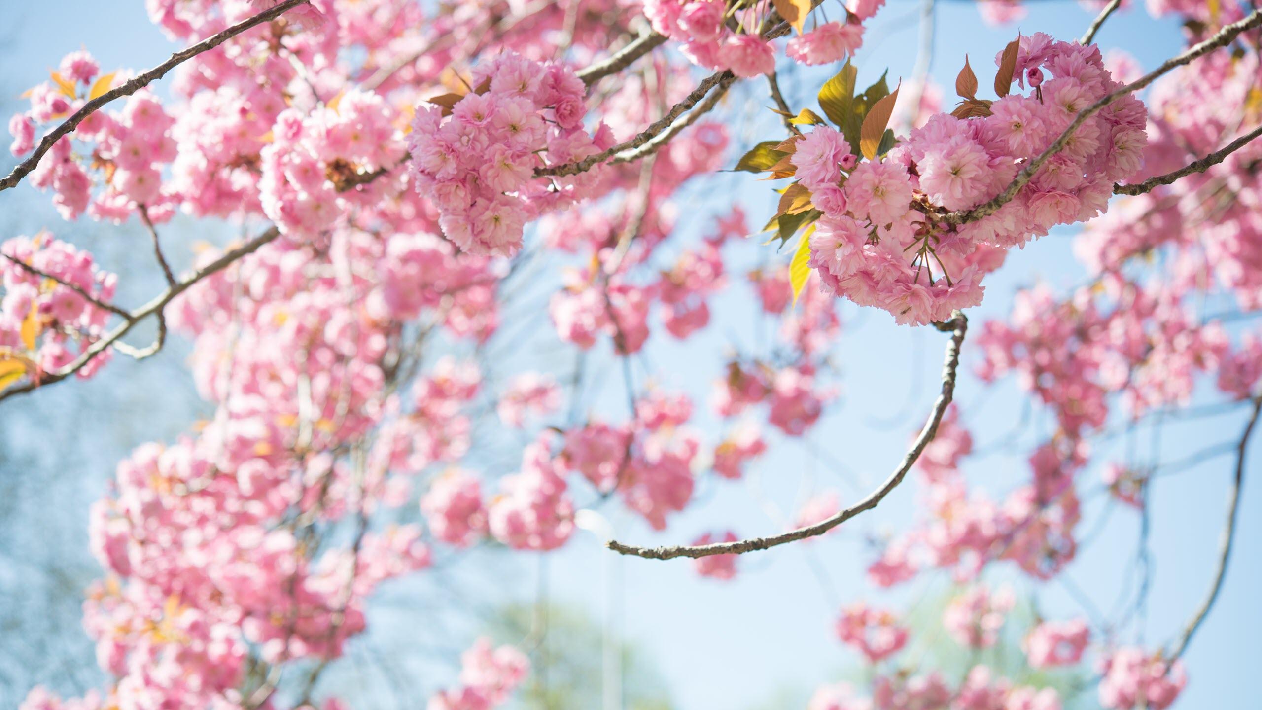 Hình nền hoa anh đào tuyệt đẹp