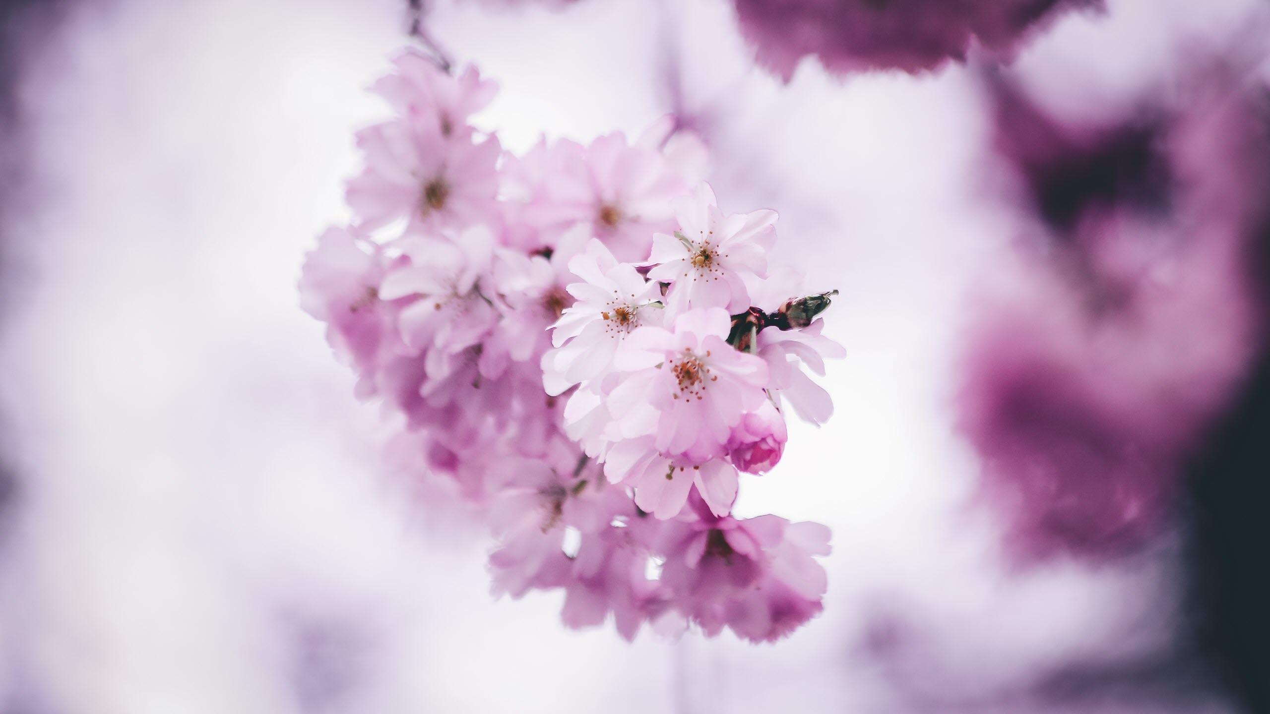 Hình nền hoa đào mùa xuân đẹp