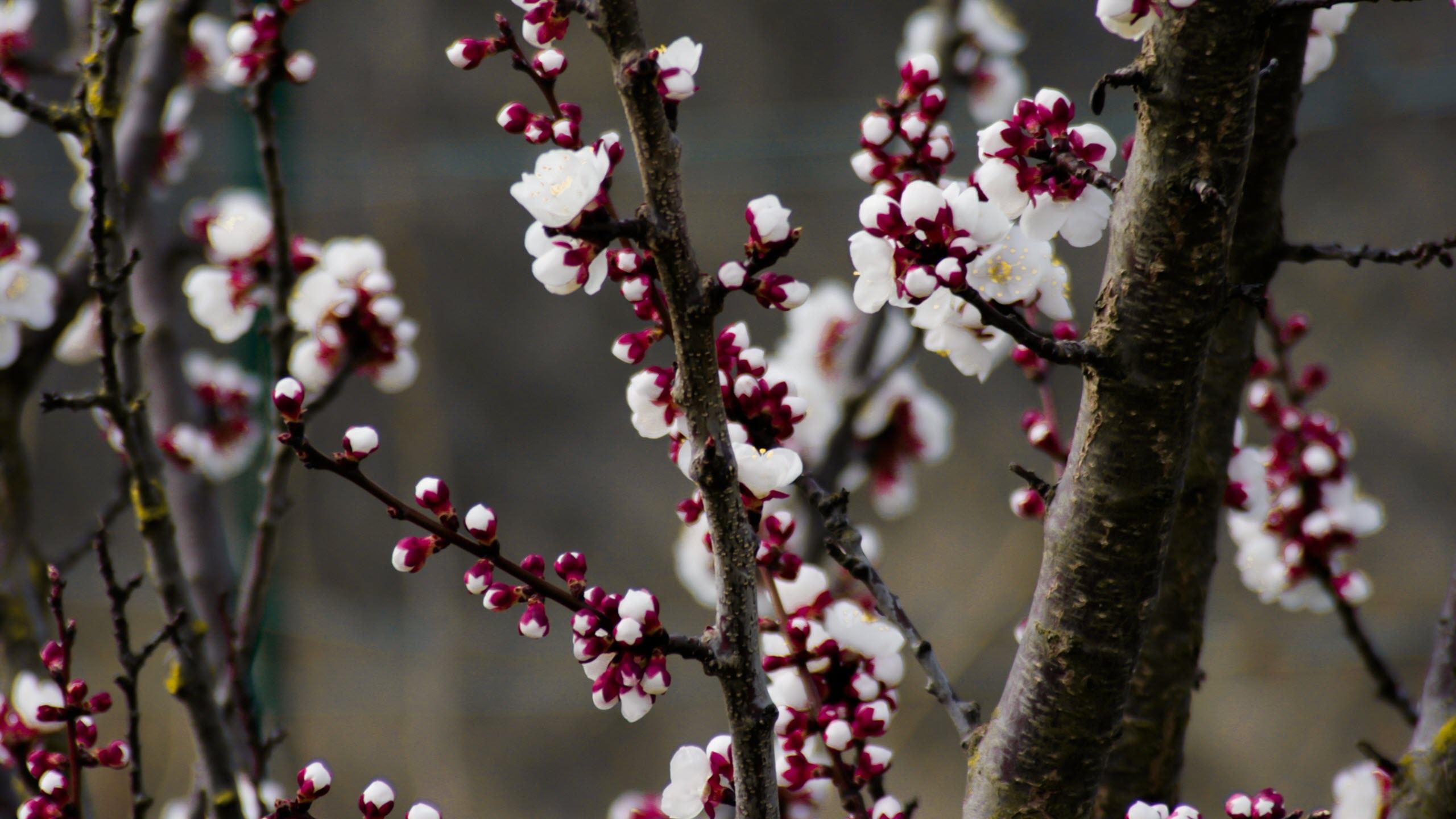 Hình nền hoa đào rừng mùa xuân