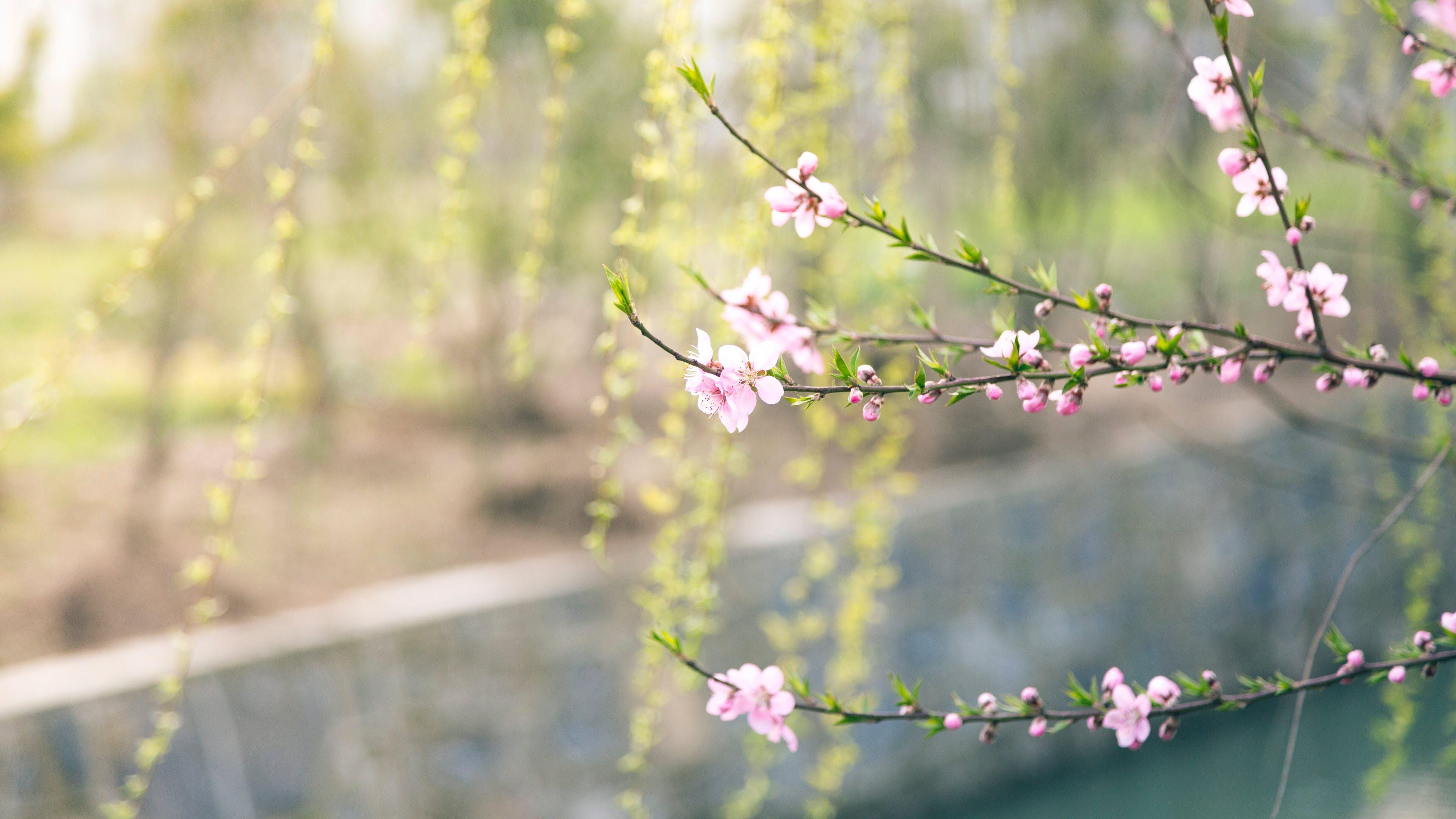 Hình nền hoa đào Việt Nam mùa xuân