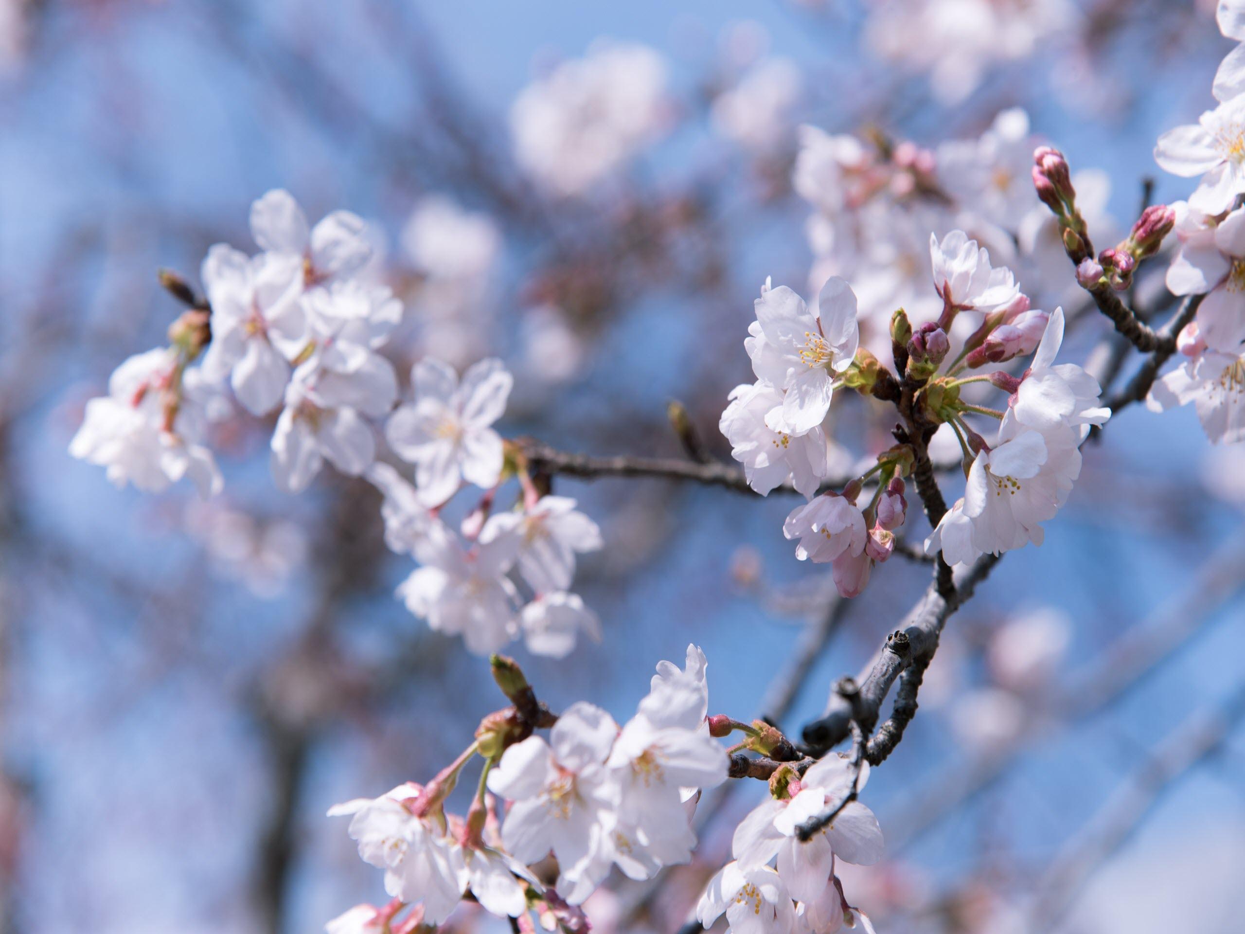 Hình nền hoa lá mùa xuân cực đẹp