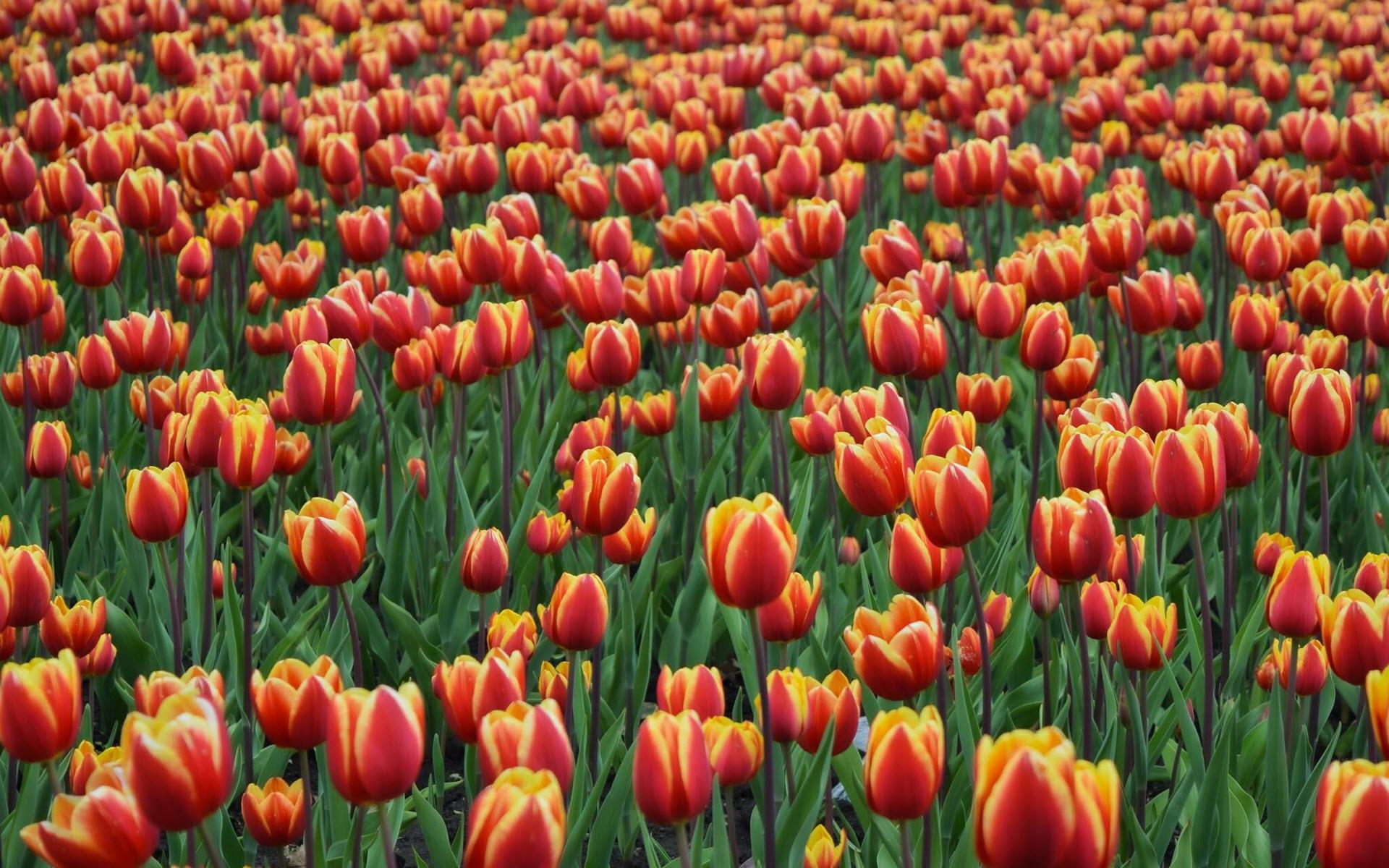 Hình nền hoa Tulip mùa xuân