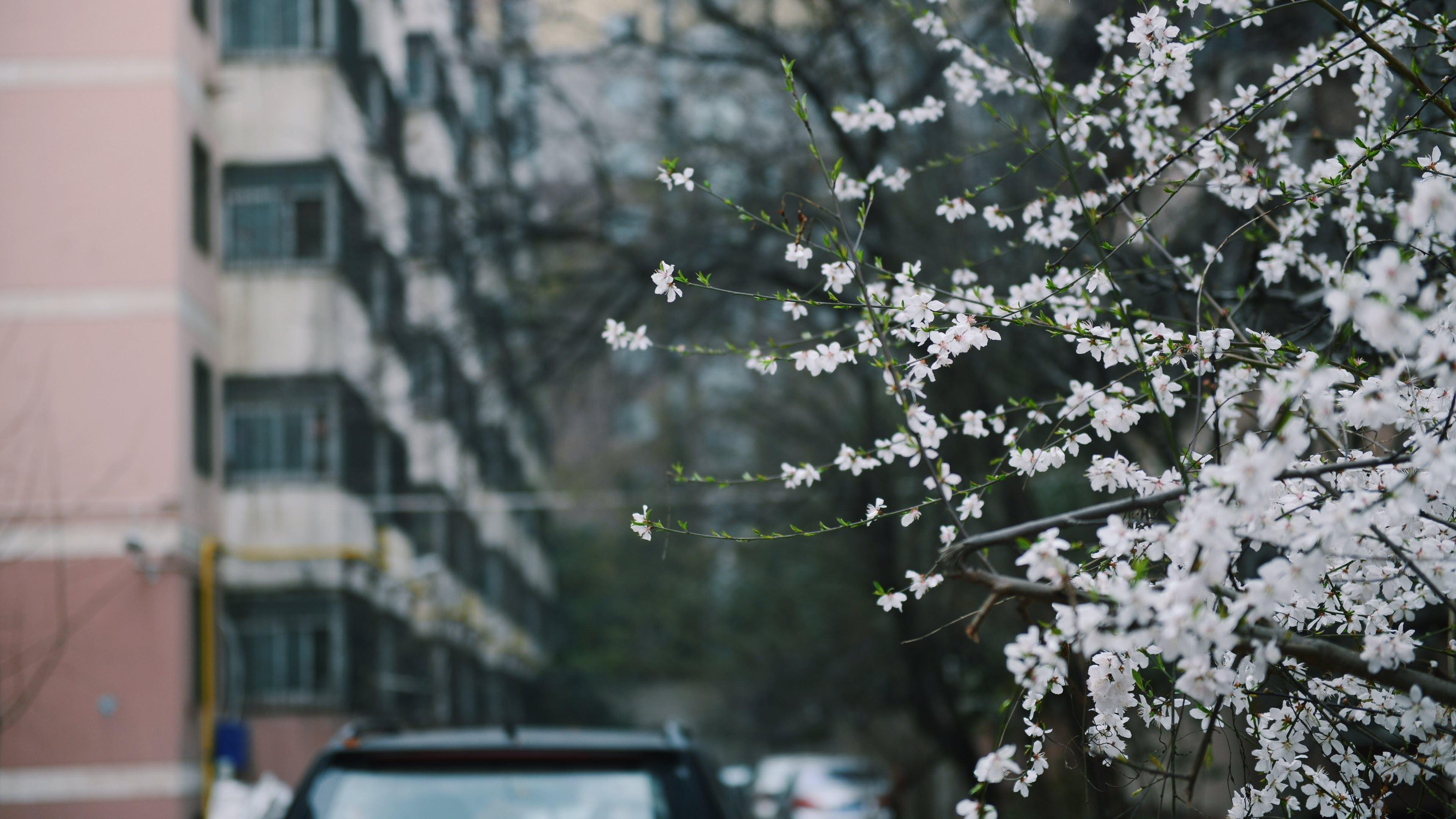 Hình nền hoa tuyết mai mùa xuân