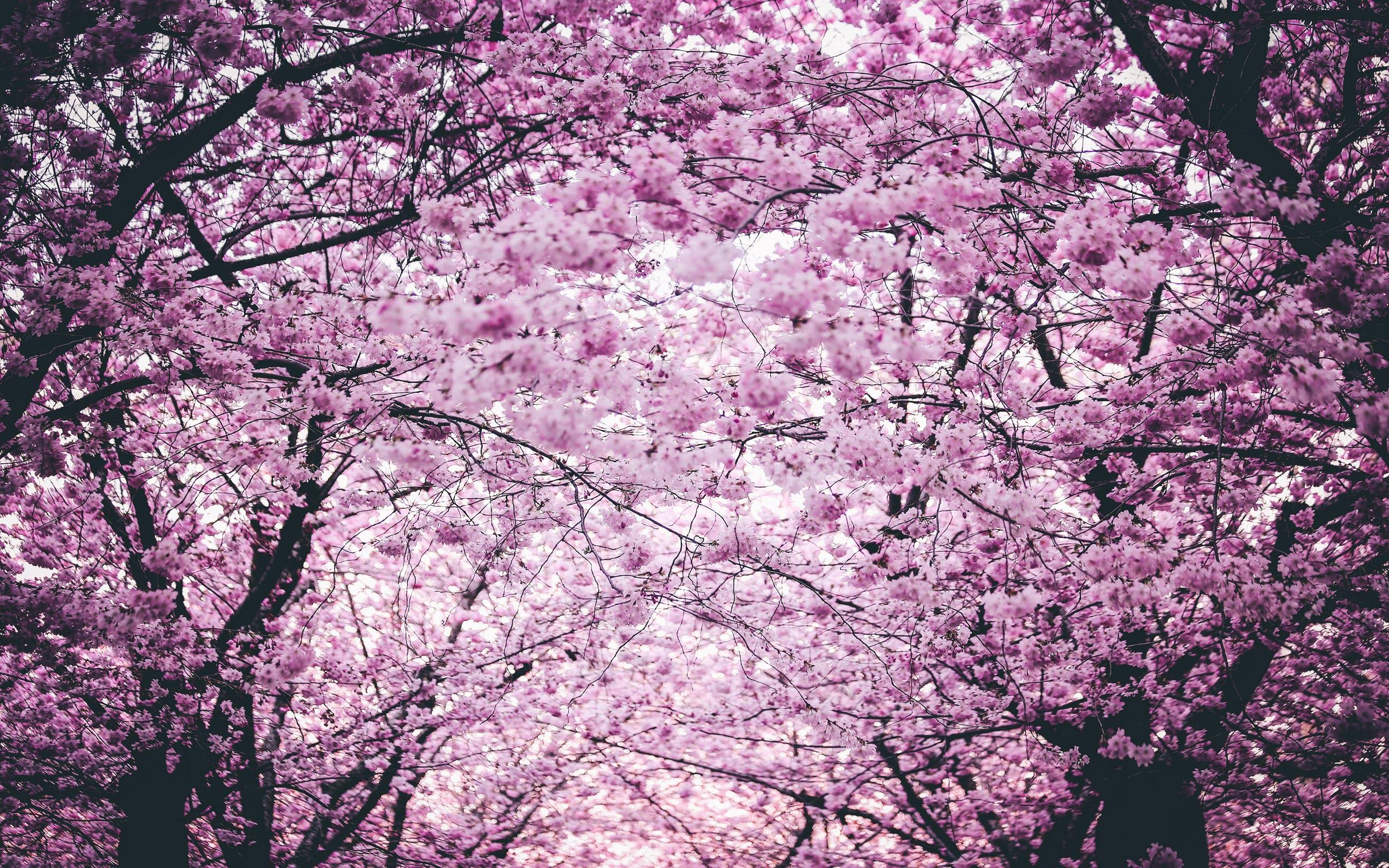 Hình nền vườn hoa anh đào mùa xuân