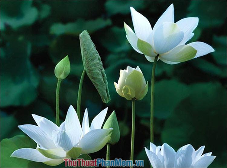 Hoa sen trắng – Trần Bảo Kim Thư