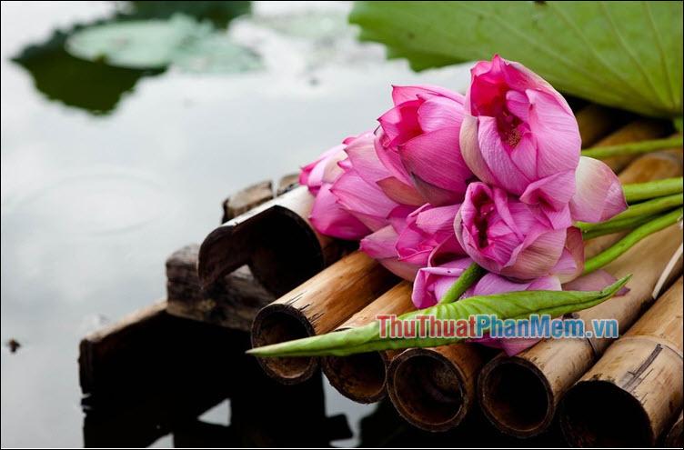 Ký ức về hoa sen – Nguyễn Văn Pứ