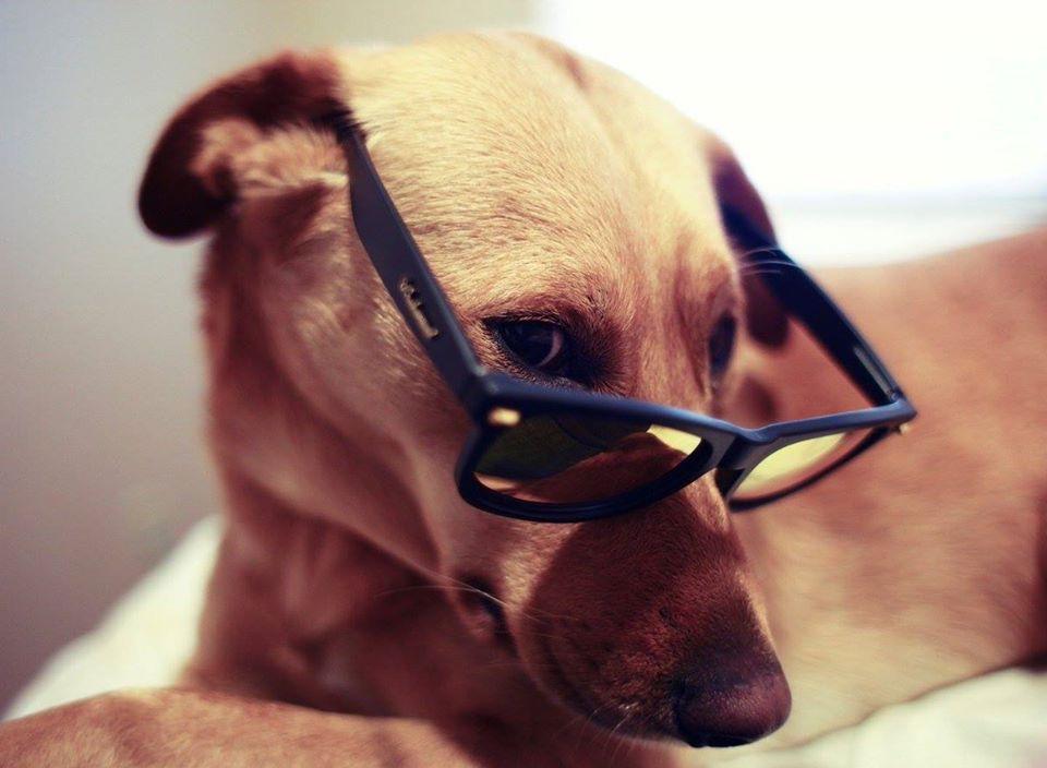 Ảnh chú chó đeo kính dễ thương