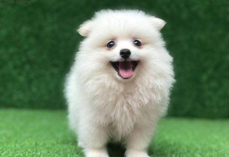 Hình ảnh chó boo trắng dễ thương