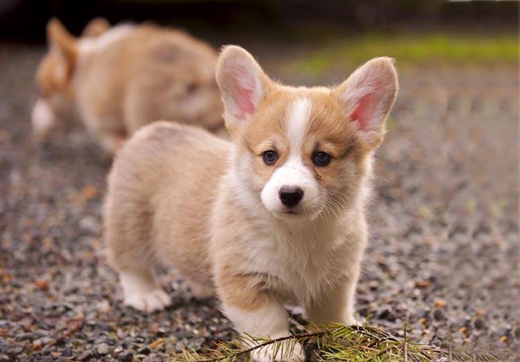 Hình ảnh chó corgi dễ thương