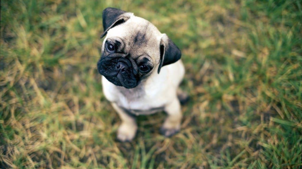 Hình ảnh chó mặt xệ dễ thương