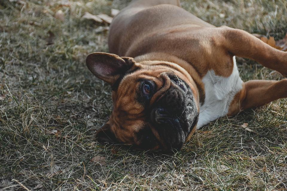Hình ảnh chó pug dễ thương