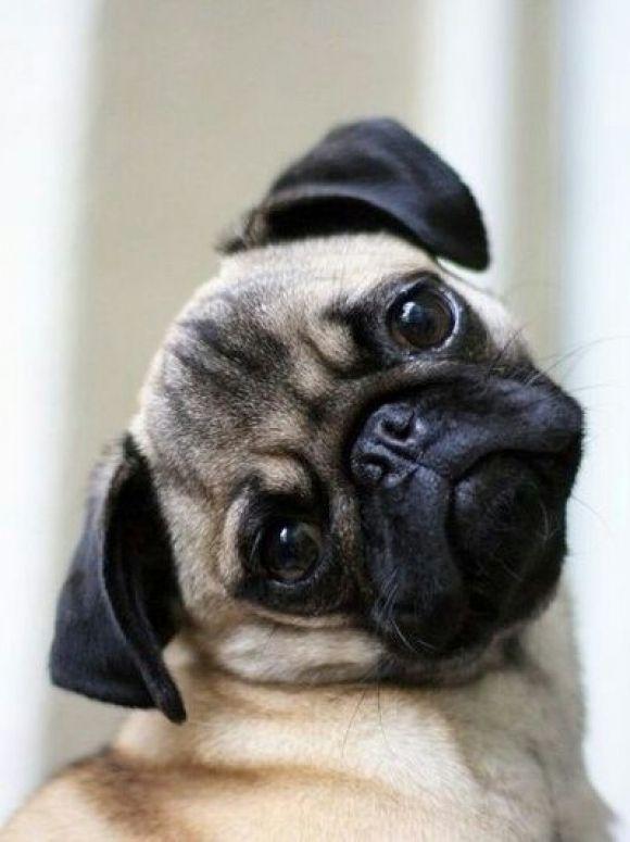Hình ảnh chó pug mặt xệ dễ thương