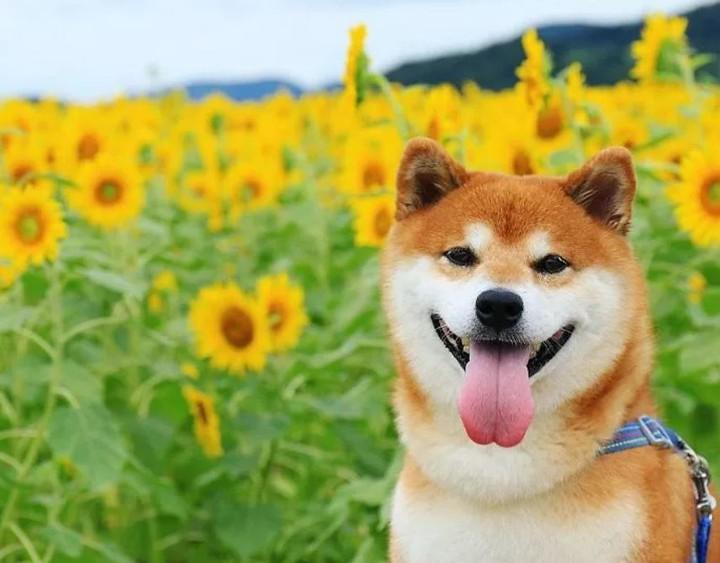 Hình ảnh chó shiba dễ thương