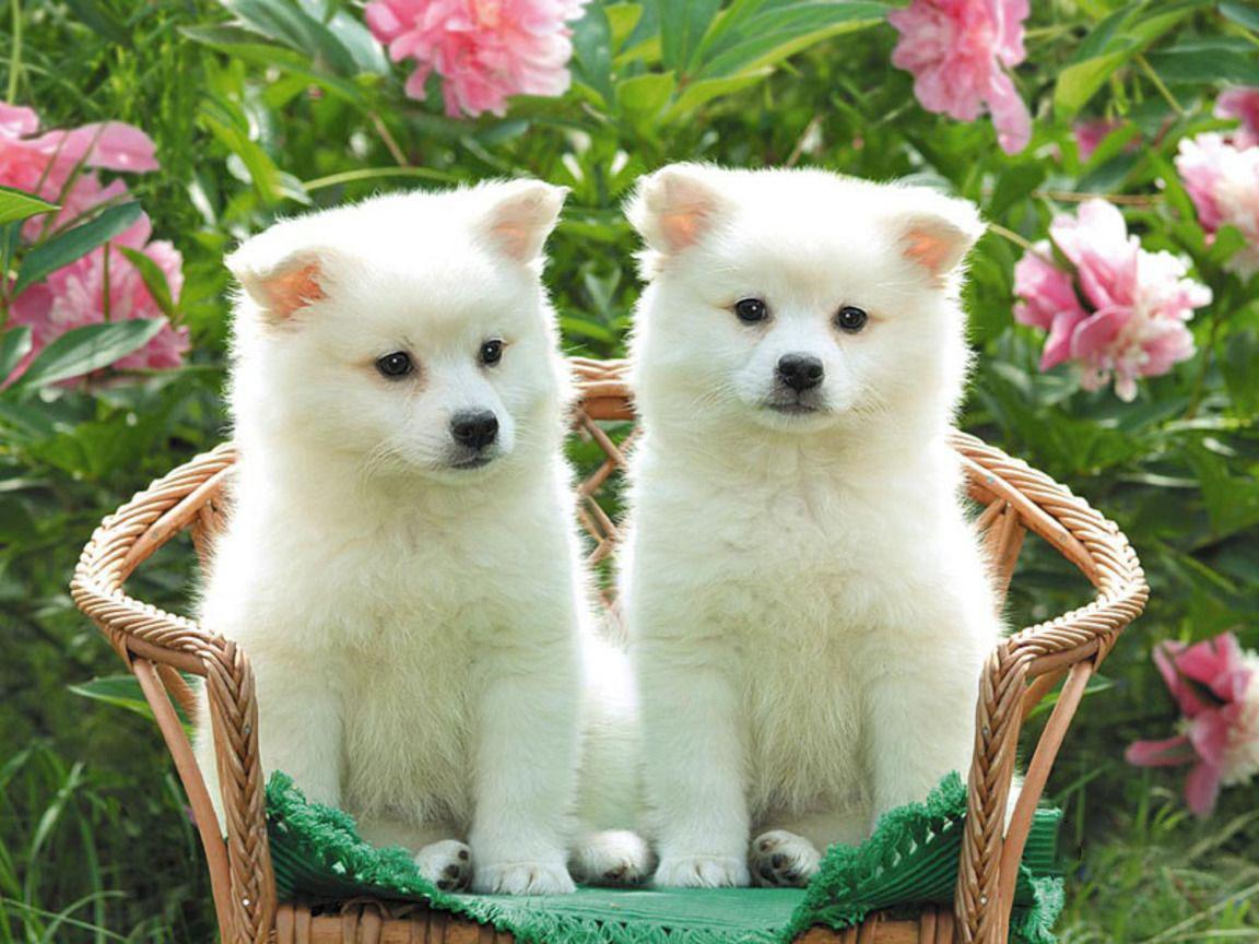 Hình ảnh chó trắng dễ thương