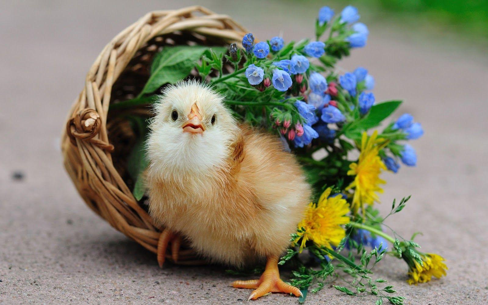 Hình ảnh những con gà con dễ thương