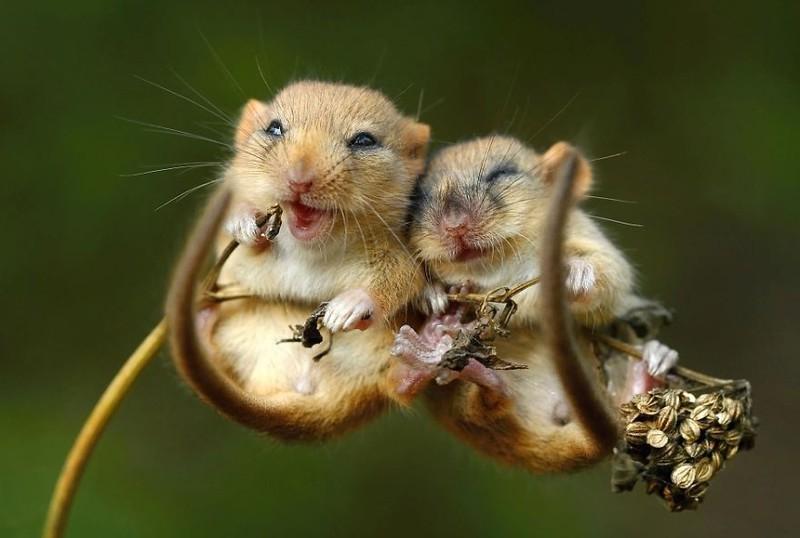 Những con chuột dễ thương nhất thế giới