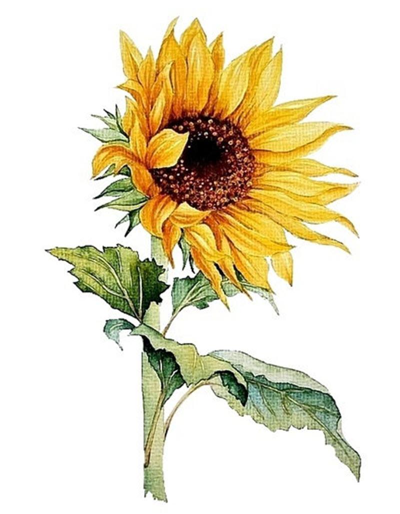 Những bức tranh vẽ hoa hướng dương cực đẹp
