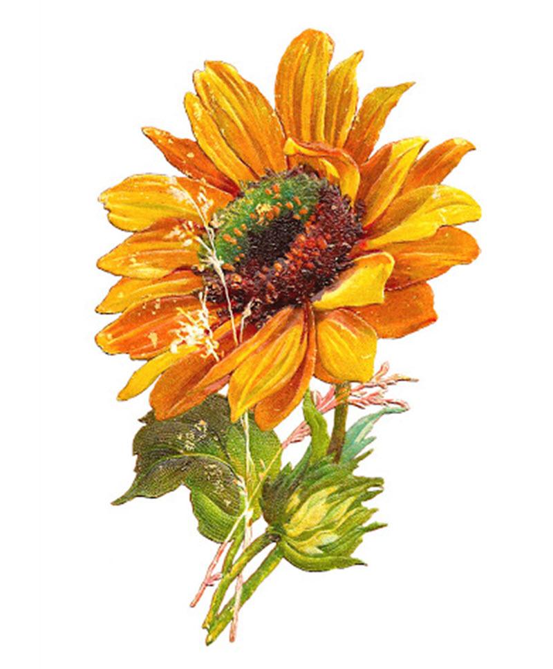 Sunflower đẹp nhất