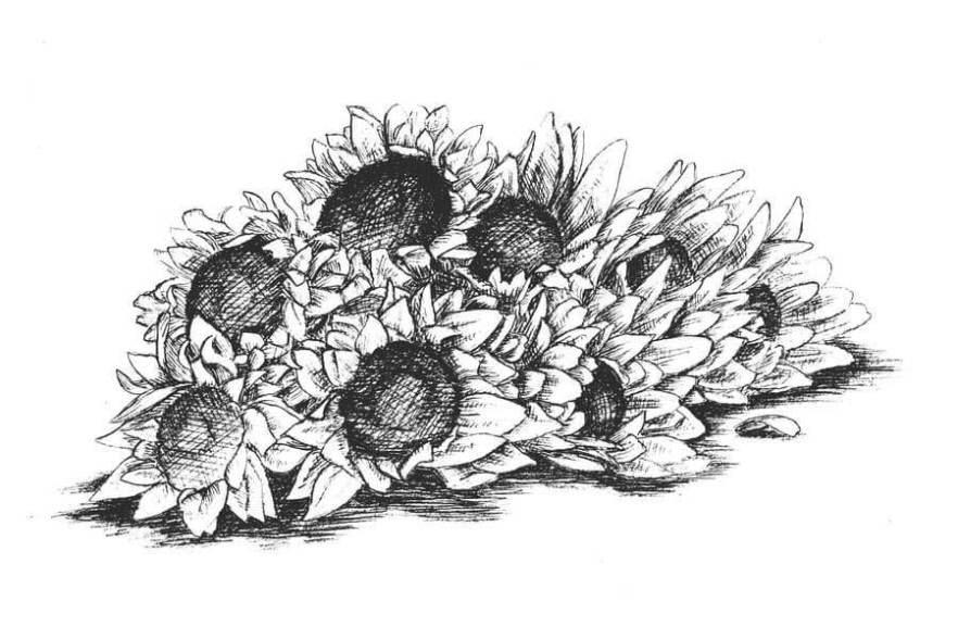 Tranh chì hoa dướng dương