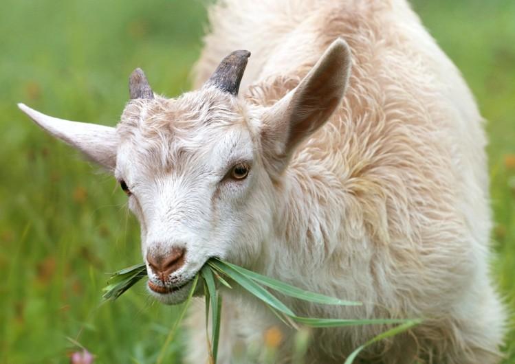 Hình ảnh dê đang ăn cỏ