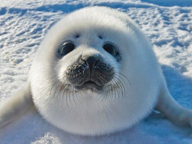 Ảnh hải cẩu cute dễ thương
