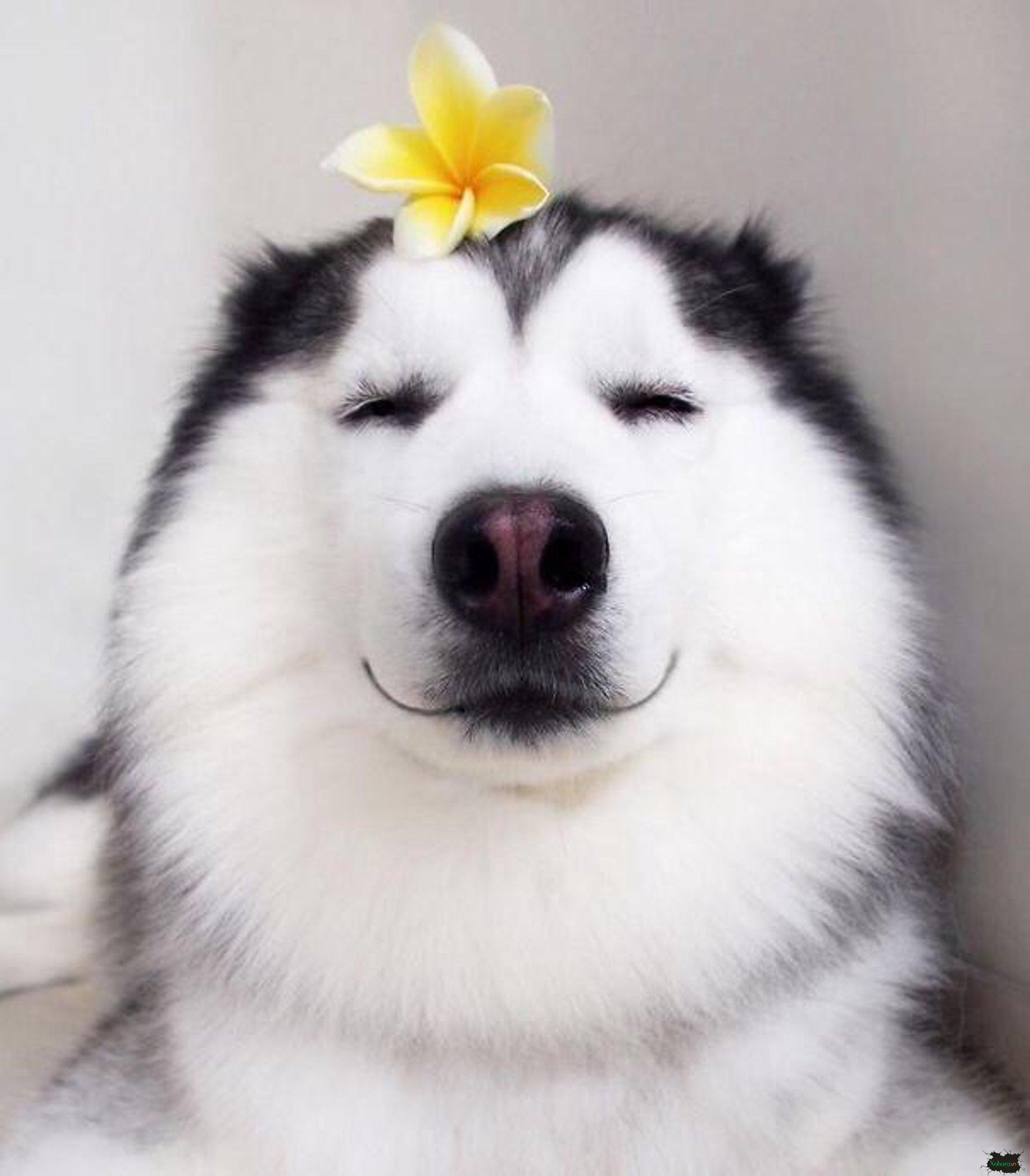 Hình ảnh cho Husky dễ thương