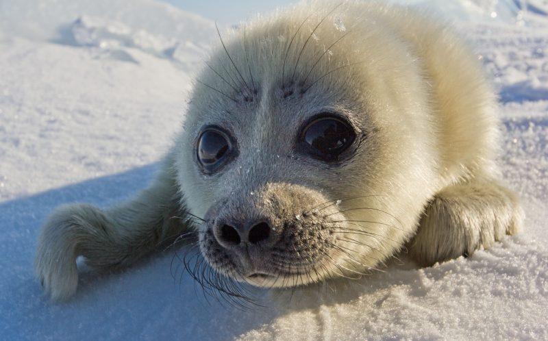 Hình ảnh hải cẩu dễ thương