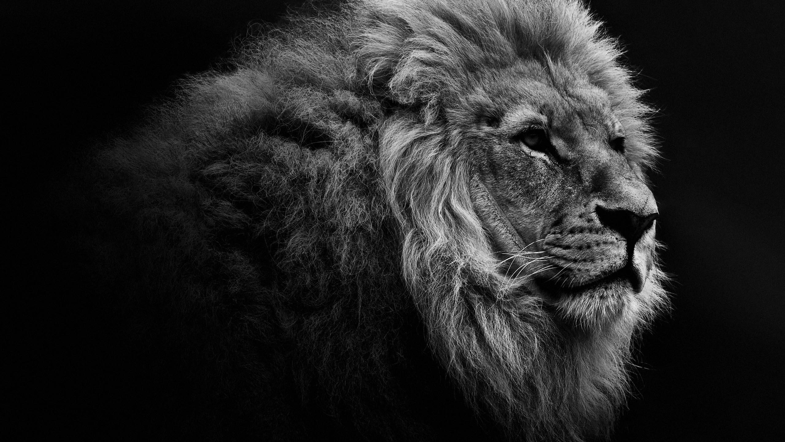 Hình đen trắng chú sư tử đực lông xù