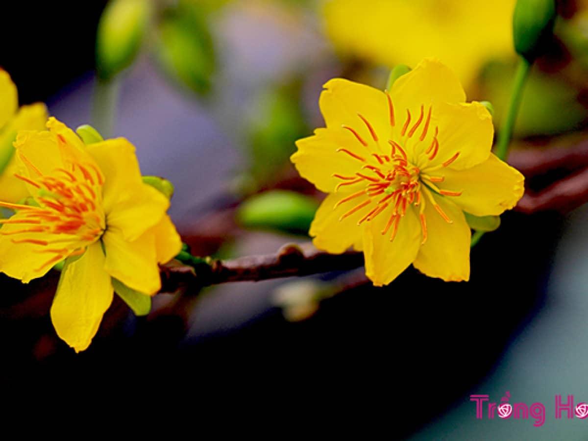 Ảnh hai bông hoa mai vàng cực đẹp