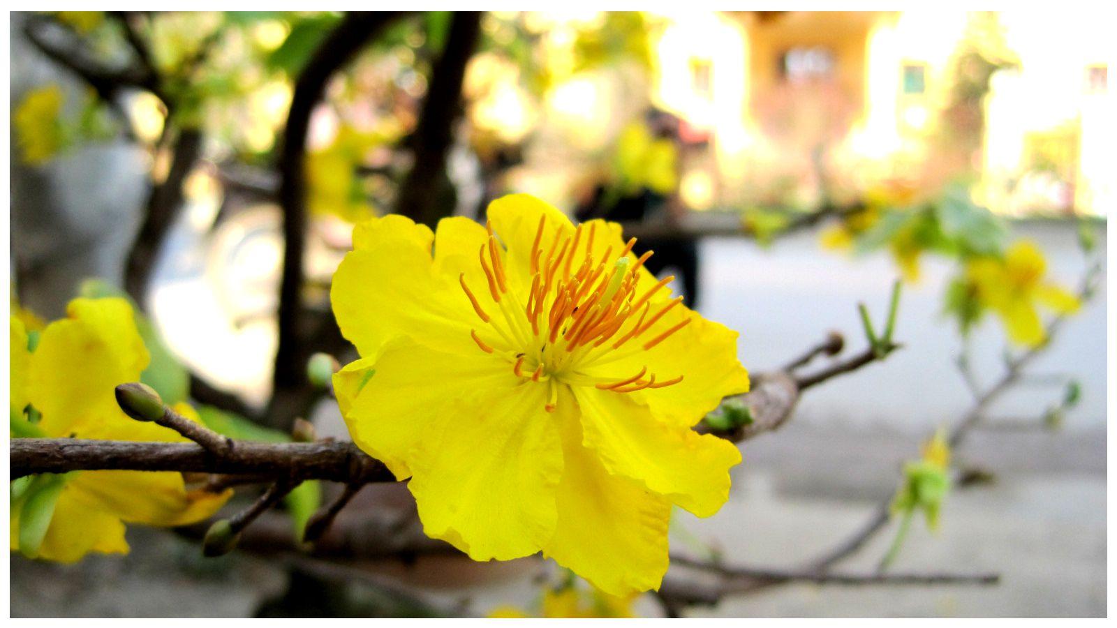 Ảnh hoa mai vàng rất đẹp
