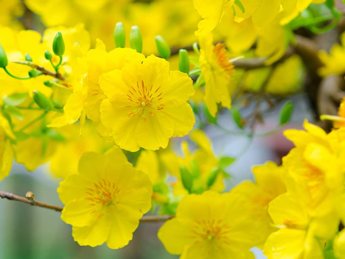 Ảnh những bông hoa mai vàng rất đẹp mắt