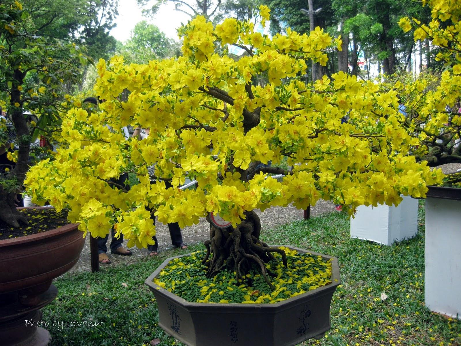 Chậu cây cảnh hoa mai vàng rất đẹp