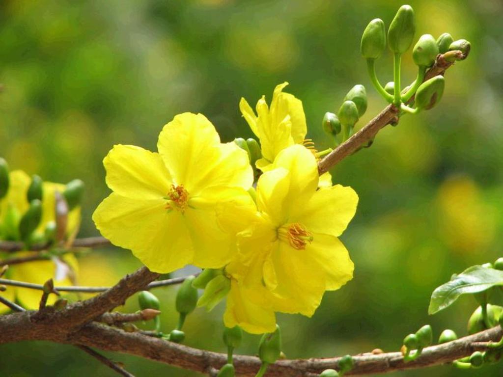 Hình ảnh ba bông hoa mai vàng chum lại rất đẹp