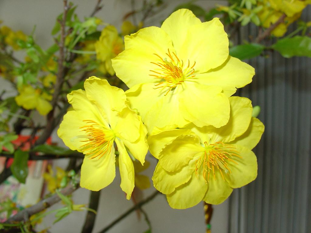Hình ảnh ba bông hoa mai vàng rất đẹp