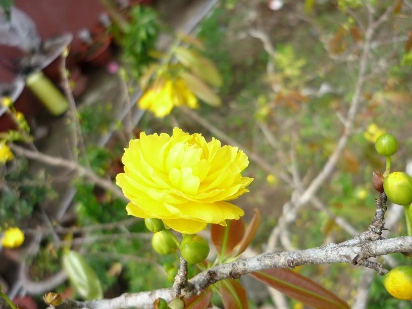 Hình ảnh bôgn mai vàng nở rộ cực đẹp