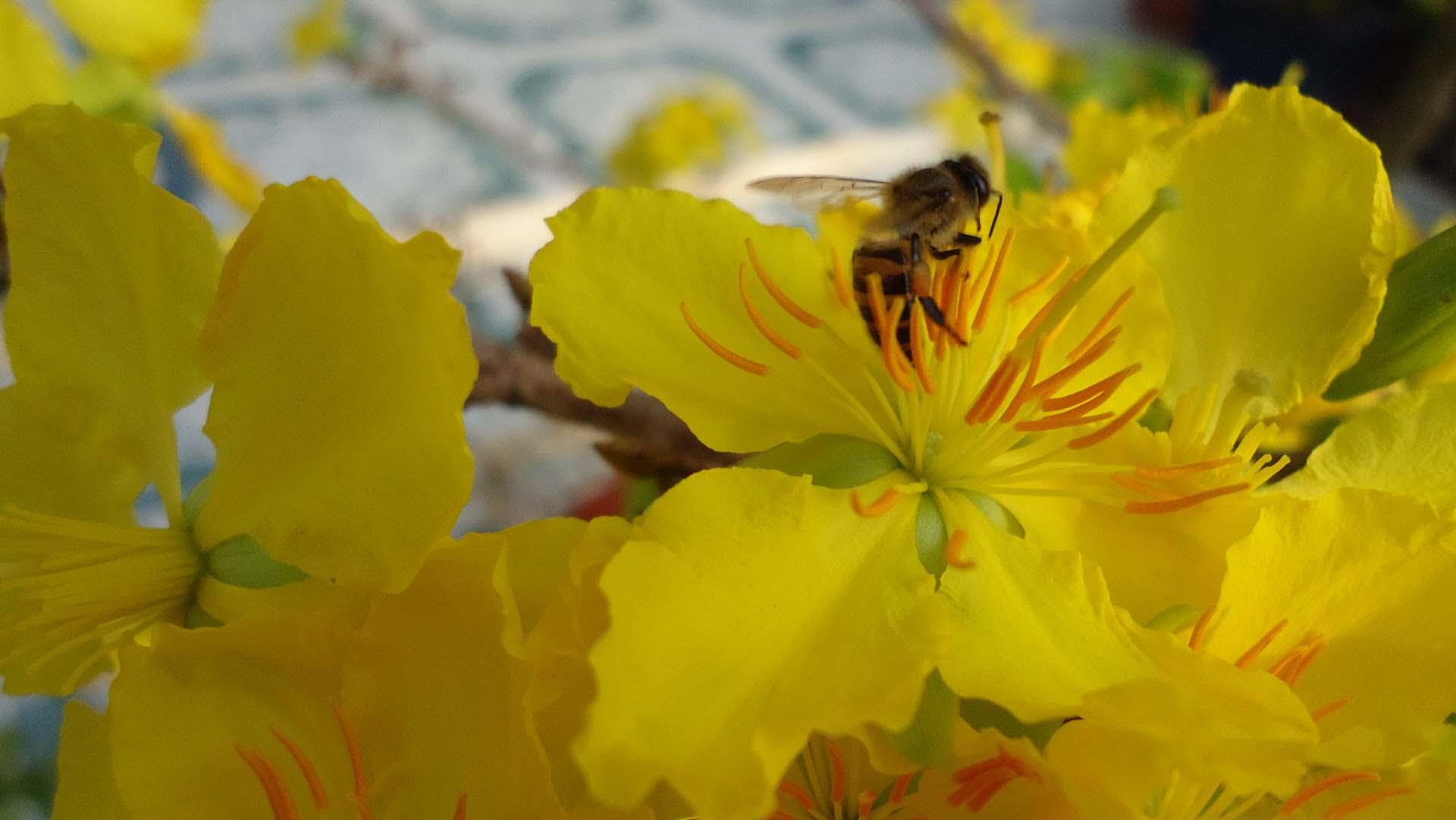 Hình ảnh bông hoa mai vàng và con ong