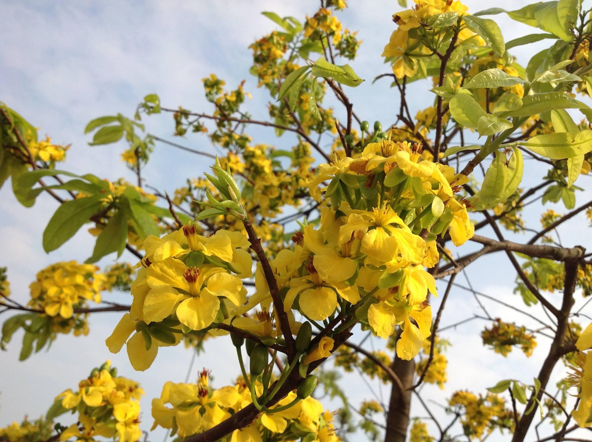 Hình ảnh cây hoa mai vàng nở rổ ất đẹp