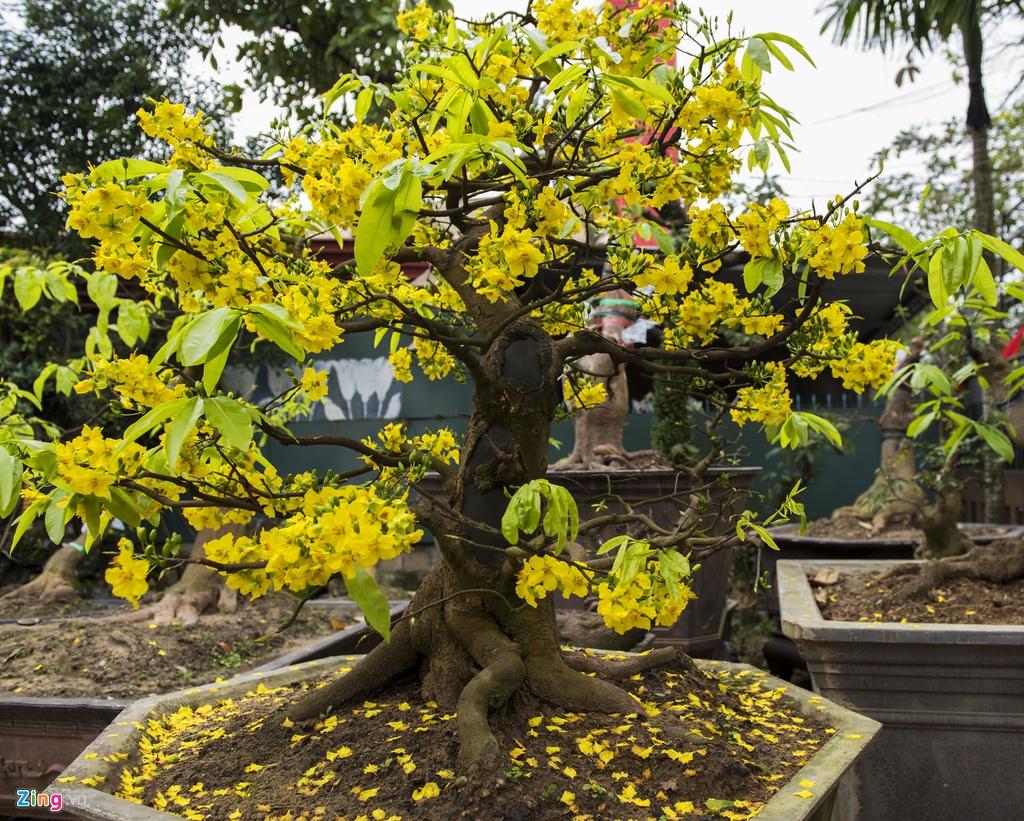 Hình ảnh chậu hoa mai vàng nở rộ rất đẹp