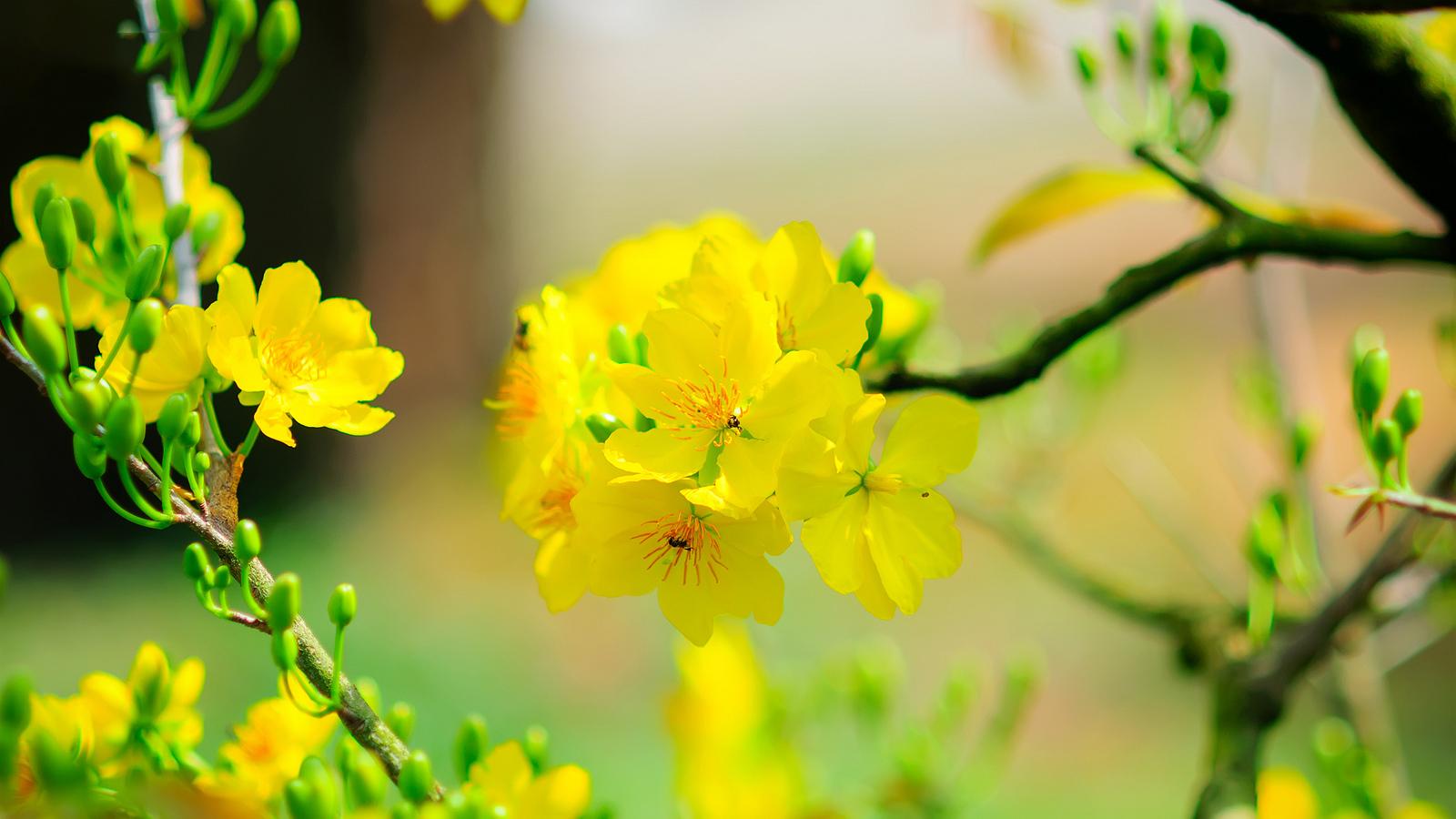 Hình ảnh chùm hoa mai vàng đẹp