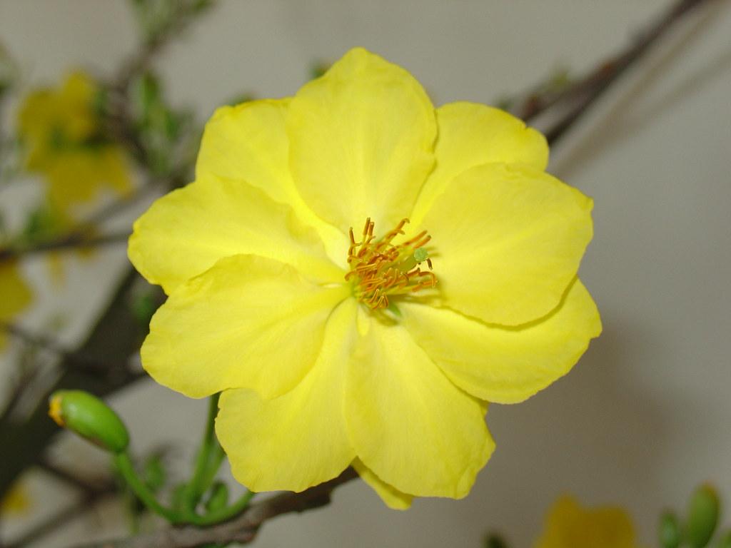 Hình ảnh đóa hoa mai vàng cực đẹp