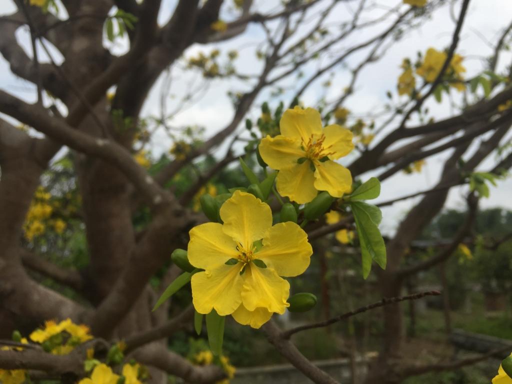 Hình ảnh đóa hoa mai vàng nở đẹp