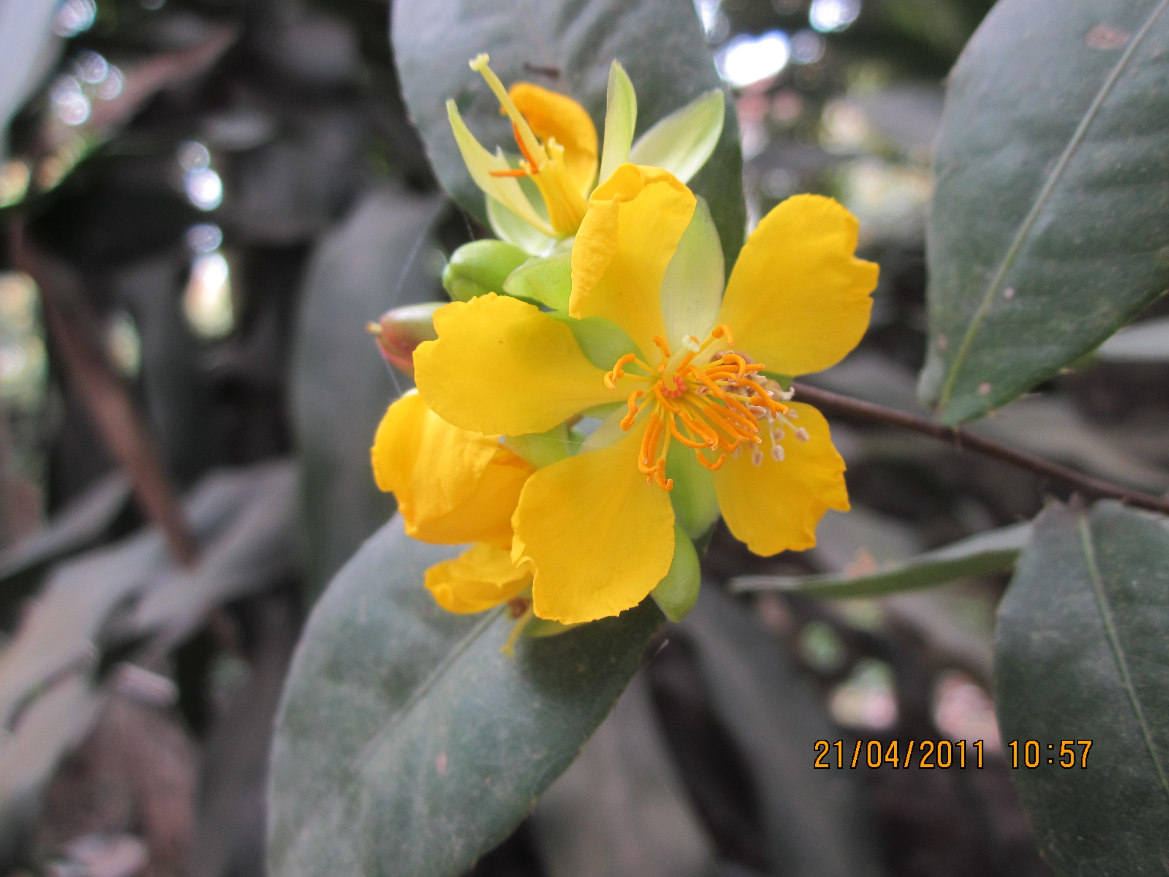 Hình ảnh hai bông hoa mai vàng cực đẹp
