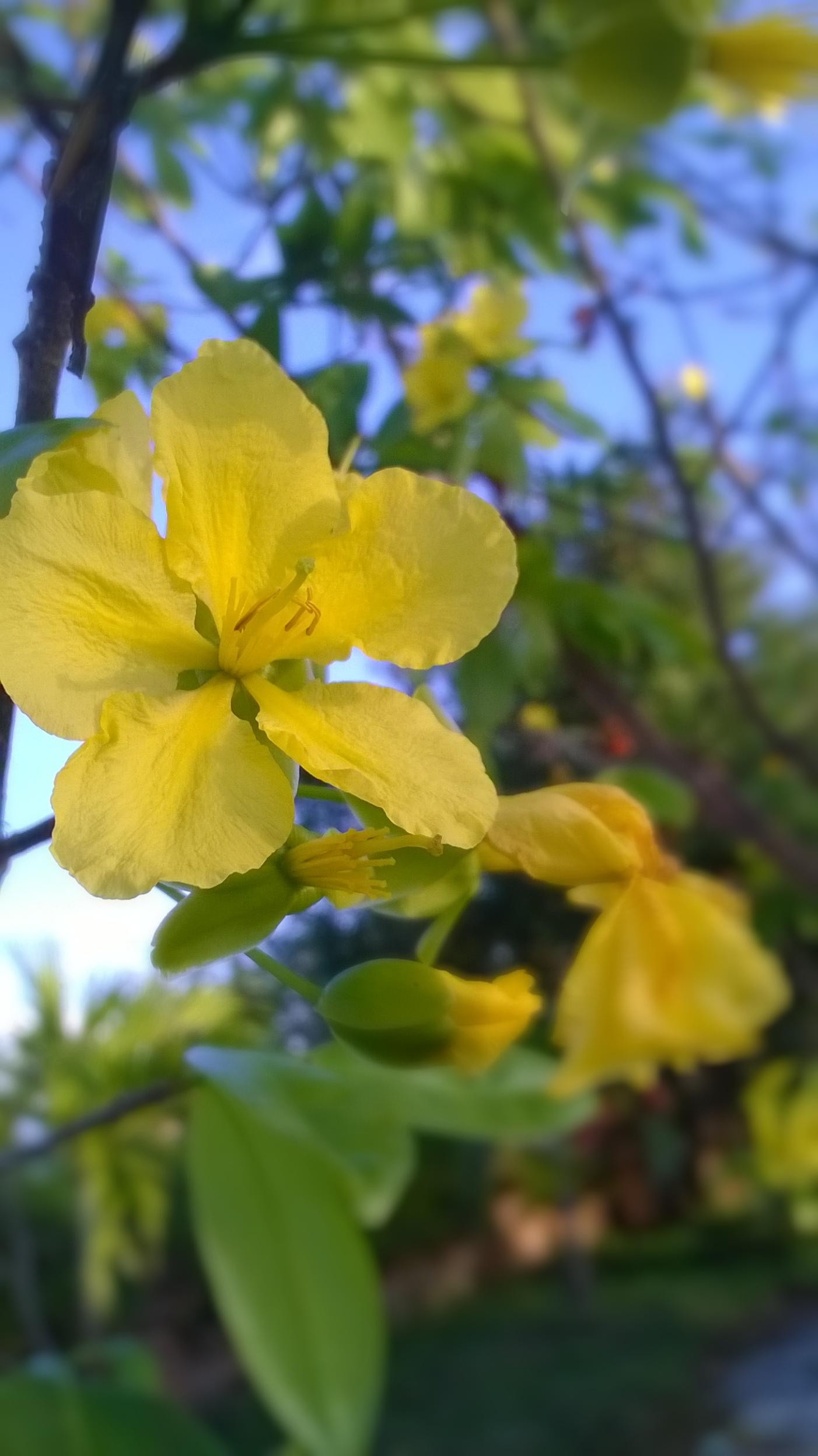 Hình ảnh hai bông hoa mai vàng rất đẹp mắt