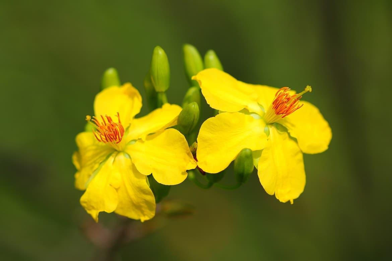 Hình ảnh hai bông mai vàng rất đẹp