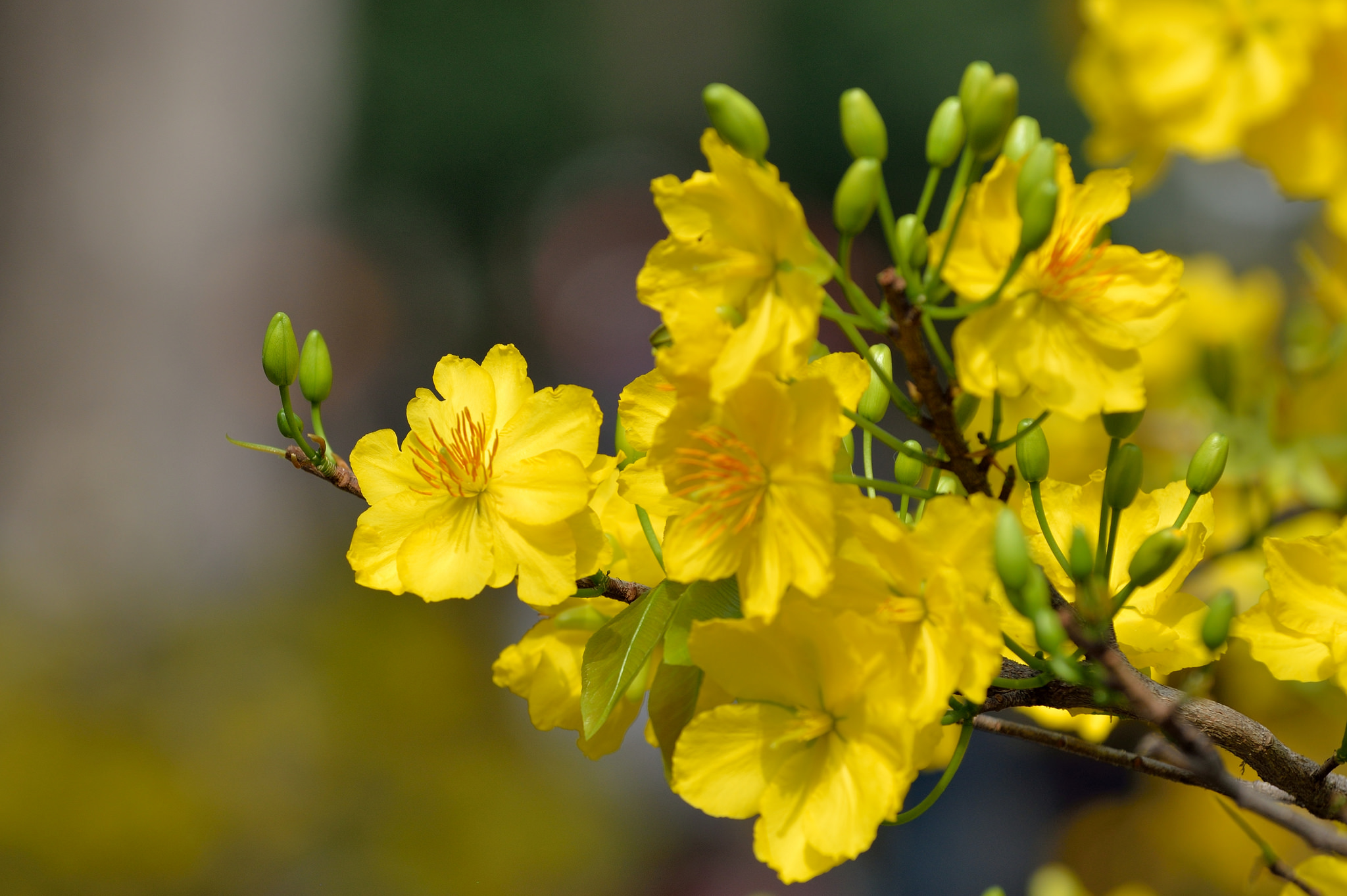 Hình ảnh hoa mai vàng cực đẹp