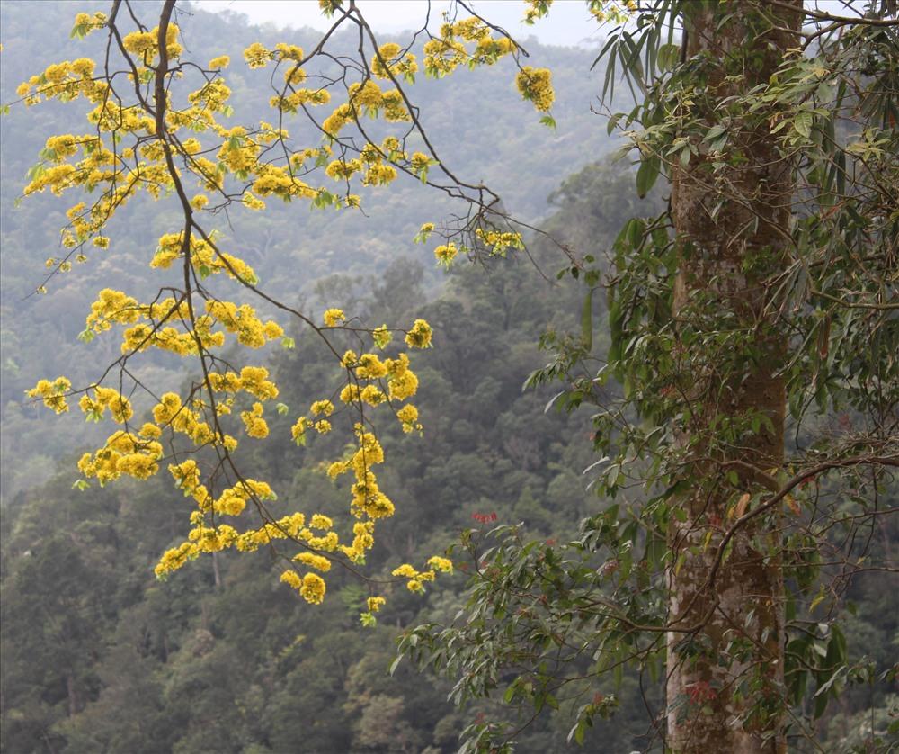 Hình ảnh hoa mai vàng rủ giữa núi rừng